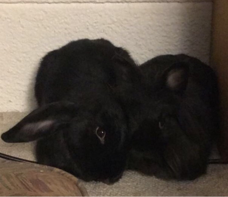 two black rabbits cuddling